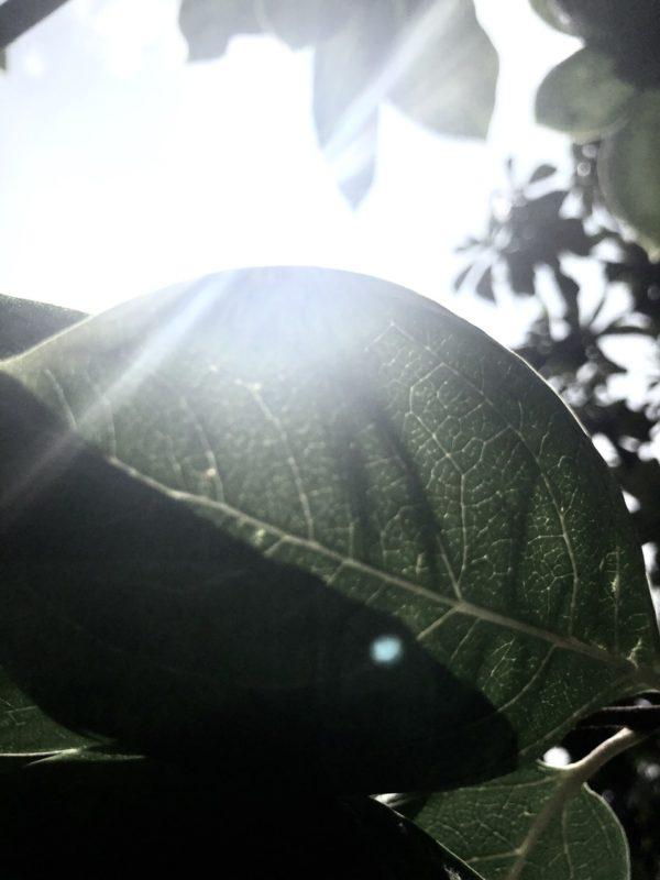 柿 osatokyo