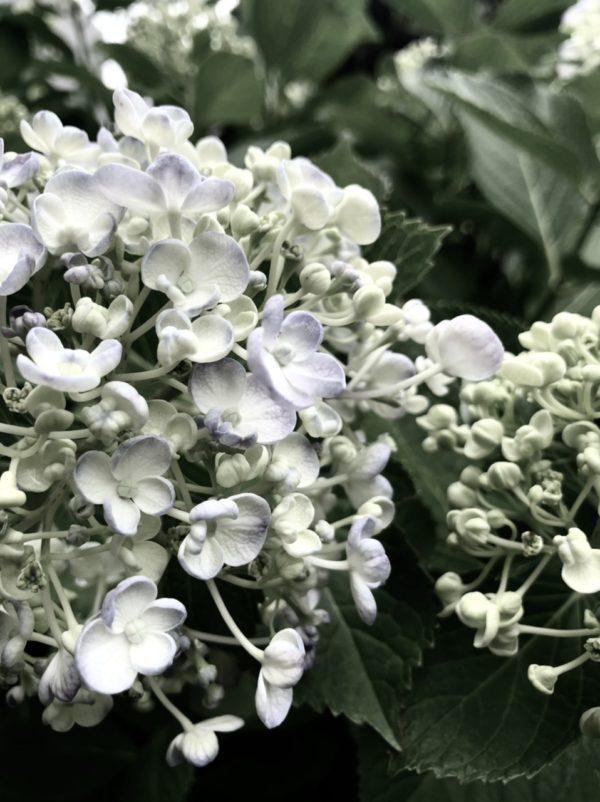 紫陽花 osatokyo